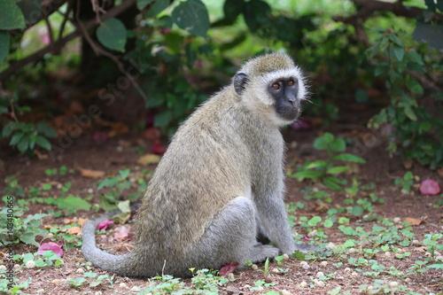 Wild Monkey Poster