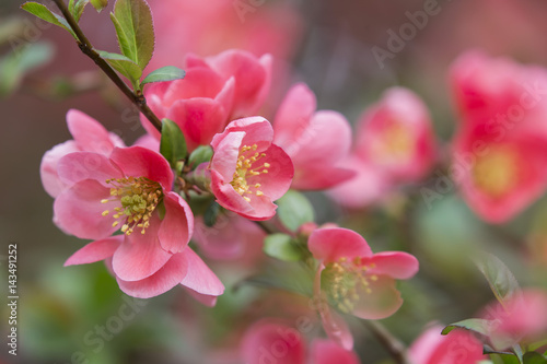Papiers peints Azalea flowers of japanese quince tree - symbol of spring, macro shot with blurry background