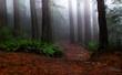 Fog shrouded redwood forest