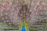 Peacock blue (or Indian) lek.