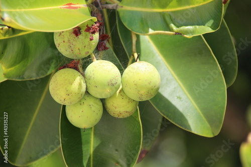 Takamaka Tree or Calophyllum ilophyllum / This Tree grows at the Beach of Anse L Poster