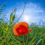 poppy flower with blue sky in field