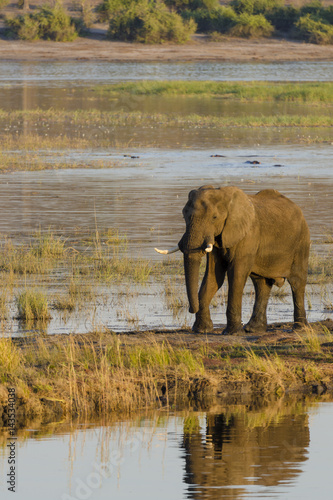 Poster African bush elephant (Loxodonta africana) on the banks for the Chobe River