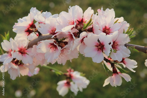 Poster Mandelblüte im Frühlung