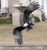 Bald Eagle Bank Turn While Hunting