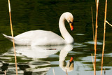 White mute swan in the water among reeds