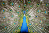 Close-up peacock on spreading tail-feathers
