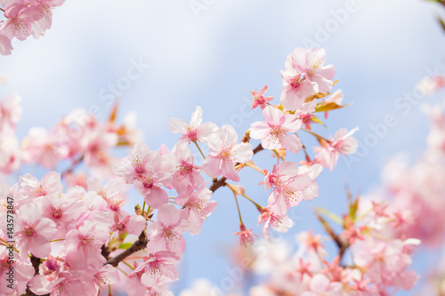 Poster soft blooming cherry bloosom