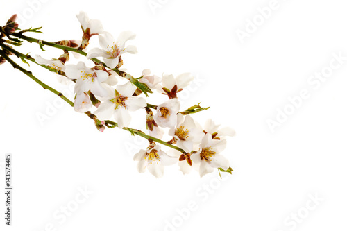 Poster branch of almond blossom