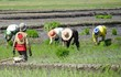 Rice planting, Philippines