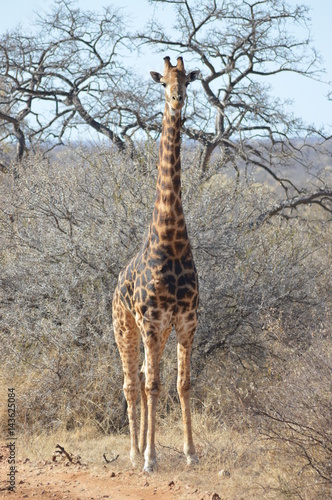 A Giaffe at Kruger Park South Africa Poster
