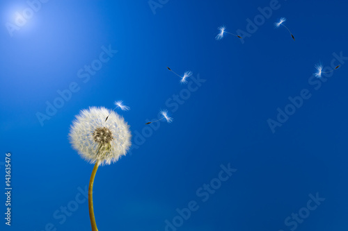 Fotobehang Paardebloemen Dandelion in sunlight releasing seeds.