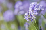 Lavender blossoms in summer with blurred background