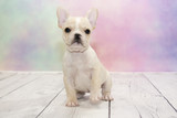 French Bulldog puppy on colorful spring background