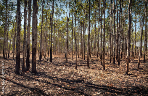 Poster Forest of straight trees with fallen leaves