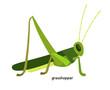 Green grasshopper  - arthropod, an expert in long jump