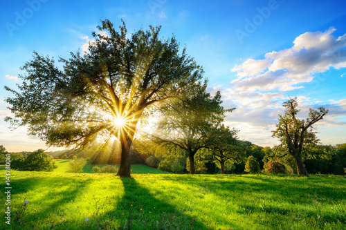 The sun shining through a tree on a green meadow, a vibrant rural landscape with blue sky before sunset