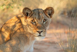 Portrait of an African lioness (Panthera leo), South Africa.