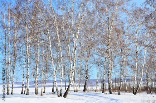 Papiers peints Bosquet de bouleaux Сибирь, березовая роща зимой