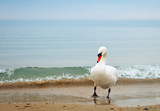 Swan walking along the seashore