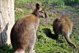 An image of a kangaroo