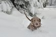Dog Stuck In Snow Of Winter Weather