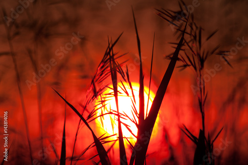 Fotobehang Rood paars Grass against the background of the sunset 1