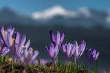 Tatra mountains, Poland, crocuses in Podhale region, spring