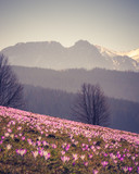 Tatra mountains, Poland, crocuses in Podhale region, spring, Giewont mountain in background