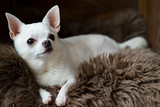 Cute and lovely chihuahua puppy laying on a gray fur carpet in a wooden doghouse