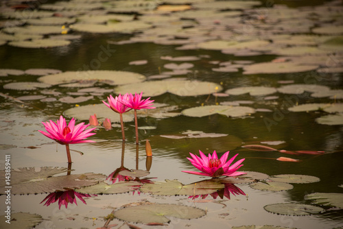 Lillies in a temple pond Poster