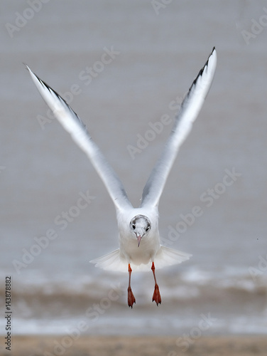 Poster The black-headed gull is a small gull that breeds in much of Europe and Asia, and also in coastal eastern Canada
