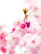 Leinwanddruck Bild - Kirschblüte