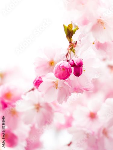 Leinwanddruck Bild Kirschblüte
