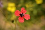 wild Cyprus spring flower
