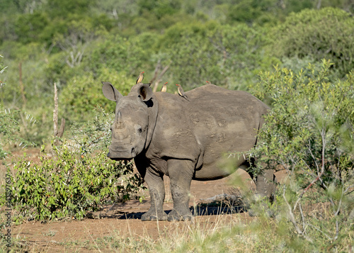 Poster White Rhino Calf in Swaziland with Oxpeckers