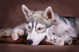Siberian husky puppy together with brittish kitten