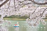 ソウル・石村湖の桜