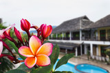 Beautiful charming pink yellow flower plumeria or frangipani bunch on swimming pool and building background