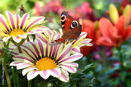 Fotobehang Zwavel geel Schmetterling 305