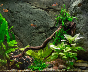 Freshwater green aquarium with plants and fishes.