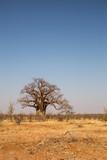 Big Baobab Trees in Desert of Mapungubwe National Park, South Africa, Africa