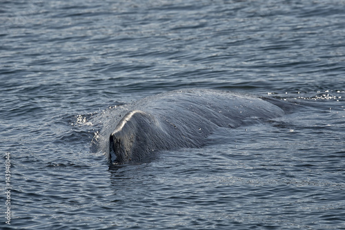 Humpback whale surfacing in Alaska Poster