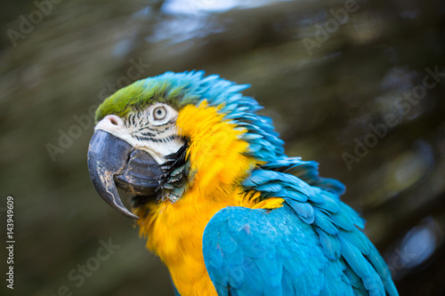 Parrot portrait of bird. Wildlife scene from tropic nature. Poster