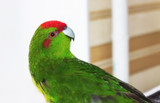 Beautiful Green Parrot, Kakariki medium size, with red head turned to the side. Cyanoramphus