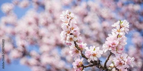 Mandelblüte im Burgenland Poster