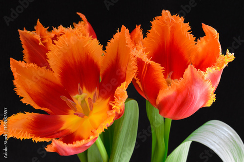Red tulips with black background