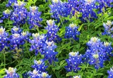 Up close view of beautiful texas bluebonnets in the spring