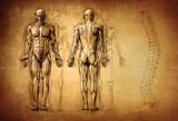 human anatomy drawing, old, canvas - 144010450