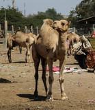 Camels in the camel market, Hargeisa, Somalia